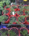 """Finger Lime - """"Maleny Red"""" in 140mm pot (pick up only)"""