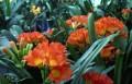Clivia miniata - Sahin Twin, orange flowering - 1 year old