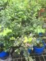 Blueberry Biloxii 140mm pot (Pick up only)