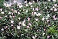 Zephyranthes grandiflora hybrid - Pack of 10 bulbs