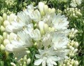 Agapanthus Double Diamond - flowering size