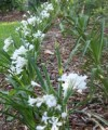 Agapanthus Snowball - Flowering size clump