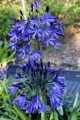 Agapanthus Black Magic - near flowering size