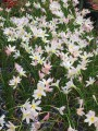 Zephyranthes Grandjax - Flowering size bulb