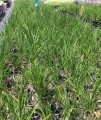 Lomandra species Lime Tuff (Pick up only)