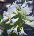 Agapanthus Silver Baby - Flowering size clump