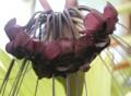 Tacca integrifolia - black bat plant - 140mm (pick up only)