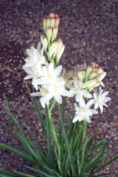 Polianthes tuberosa
