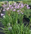 Agapanthus Amethyst - 6 near flowering sized plants