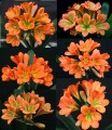 Clivia miniata- 10 bronze flowering crosses - 2 year old