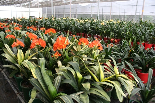 Variegated_sahin_twin_clivia_view.jpg