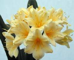 Vico_Yellow_Vico_Gold_Clivia.jpg