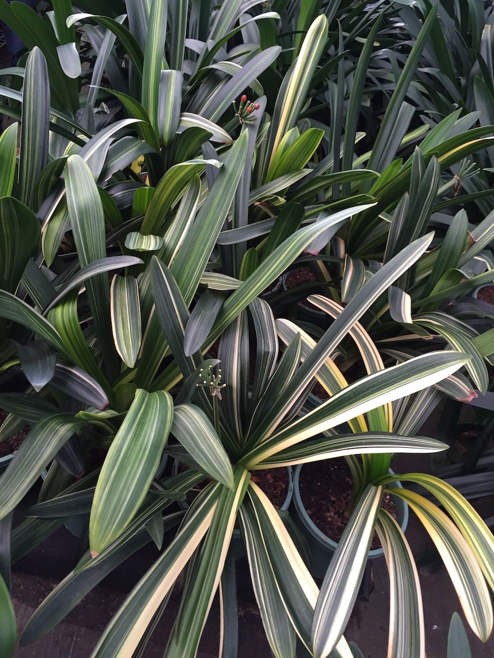 variegated-pastel.jpg
