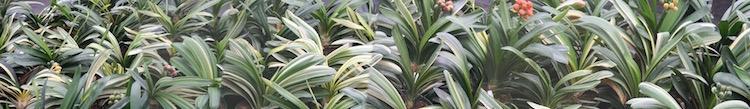 variegation-in-clivia.jpg