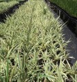 Dianella Silver Streak (Pick up only)