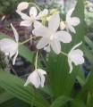 Spathoglottis plicata alba- Terrestrial Orchid