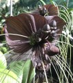 Tacca chantrieri - black bat plant - Pick up only