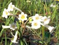 Cyrtanthus mackenii var cooperi  (Cream or yellow)