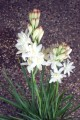 Polianthes Tuberosa - Special 15 bulb pack