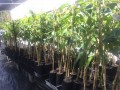 Avocado Hass grafted - 2 plants in 5ltr bags (Pick up only)