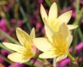 Zephyranthes primulina - pack of 10 bulbs