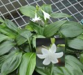 Caliphruria subedentata - Green Supreme (Mini Amazon Lily) - Flowering size