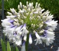 Agapanthus Queen Mum - near flowering size