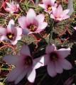 Habranthus brachyandrus Jumbo
