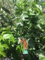 Citrus - Hickson Mandarin grafted in 175mm pot (Pick up only)
