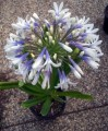 Agapanthus Cloudy Days - near flowering size