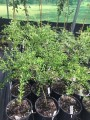 """Finger Lime - """"Green Sapphire"""" grafted in 200mm pot (pick up only)"""