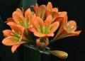 Clivia miniata - 10 Good Bronze flowering cross seeds