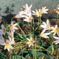 Habranthus brachyandrus