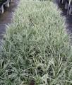 Ophiopogon intermedians alba variegata